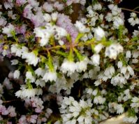 Erica quadrangularis small flowers, smaller leaves