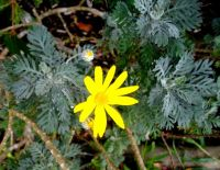 Euryops pectinatus irregular combs
