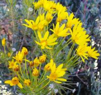 Euryops tenuissimus flowering stem-tips