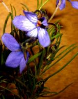 Viola decumbens two-tone flowers