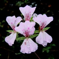 Pelargonium peltatum flowers after rain
