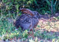 Scrub hare, wide-eyed