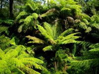 Sphaeropteris cooperi, Australian tree ferns at home