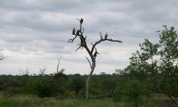 Whitebacked vulture food scouts