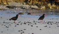 African black oyster catchers