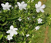 Barleria elegans inflorescence and leaves