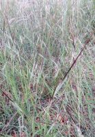 Heteropogon contortus, spear grass