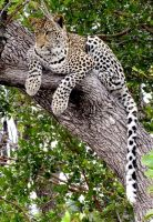 Leopard resting but interested