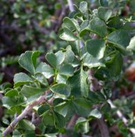 Commiphora capensis leaves
