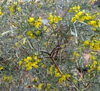 Calobota sericea flowering yellow