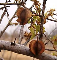Combretum hereroense old fruits and new growth