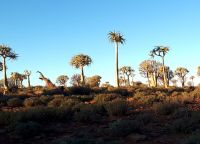 The tree aloes