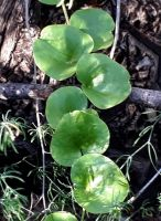 Dioscorea elephantipes leaves