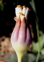 Othonna macrophylla clasping fingers