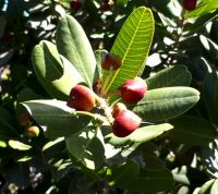 Heeria argentea red fruit