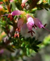 An Erica of Piketberg