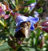 Lobostemon glaucophyllus flower being mauled by a bee
