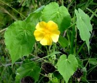 Abutilon grandiflorum flower