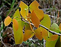 Colophospermum mopane leaf colour shift