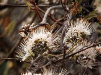 Combretum mossambicense flowering