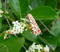 Ehretia amoena and crimson-speckled footman