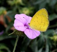 Ipomoea magnusiana flower and butterfly