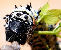 Mopane worm shiny side