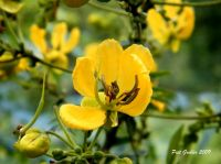 Senna petersiana flowering