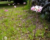 Amaryllis belladonna on a lawn