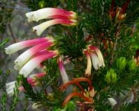 Erica versicolor unlikely flower colours