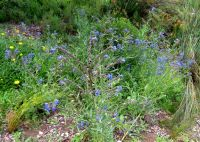 Anchusa capensis growth habit