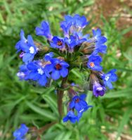 Anchusa capensis inflorescence