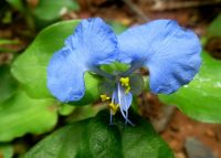 Commelina benghalensis flower