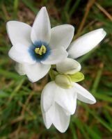 Ixia polystachya white with blue centre