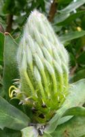 Leucospermum grandiflorum bud narrow and young