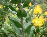 Leucospermum grandiflorum stem-leaves