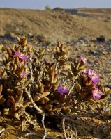 Psammophora modesta in Richtersveld conditions