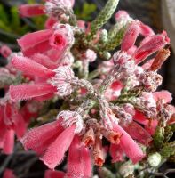 Erica strigilifolia hairy flower tips