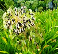 Agapanthus praecox fruit releasing black seeds