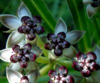 Asclepias crassinervis flowers