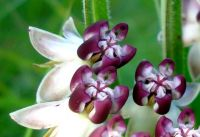 Asclepias crassinervis purple coronas