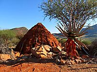 Aloe littoralis by a Himba hut