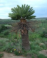 Encephalartos friderici-guilielmi grown tall