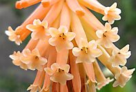Kniphofia triangularis subsp. triangularis flowers