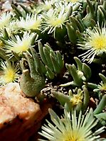 Mesembryanthemum nitidum buds and flowers